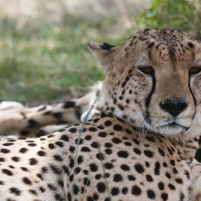 """""""Cheetah (Acinonyx jubatus), Masai Mara, Kenya, East Africa, Africa"""" stock image"""