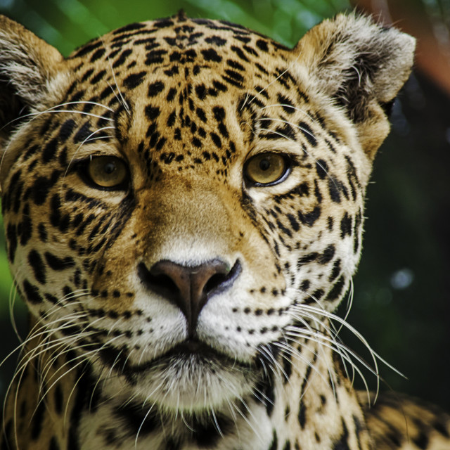 """""""Taunting the Jaguar part 3"""" stock image"""