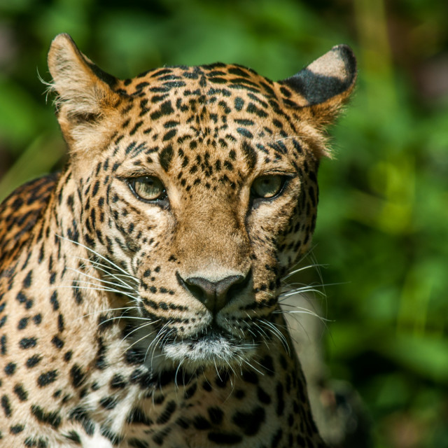 """""""Taunting the Leopard 3"""" stock image"""