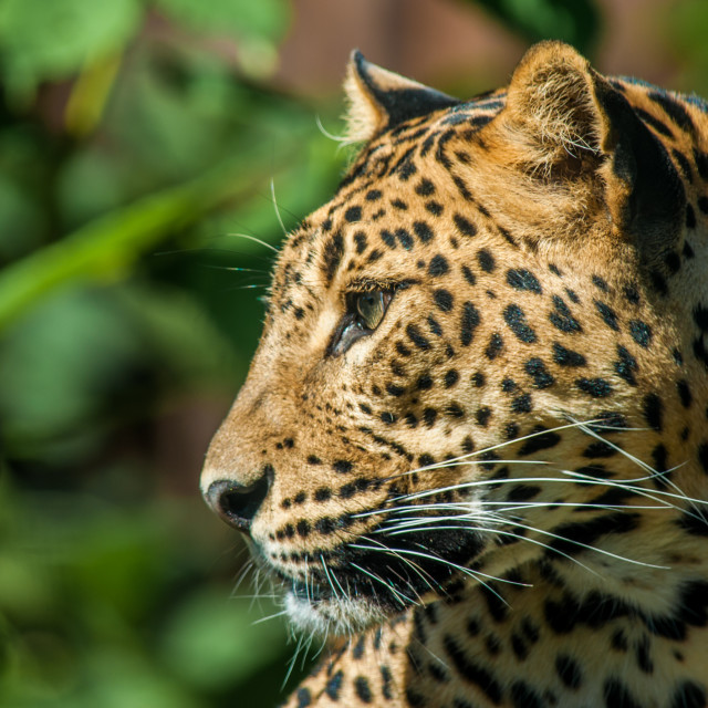 """Resting leopard male"" stock image"