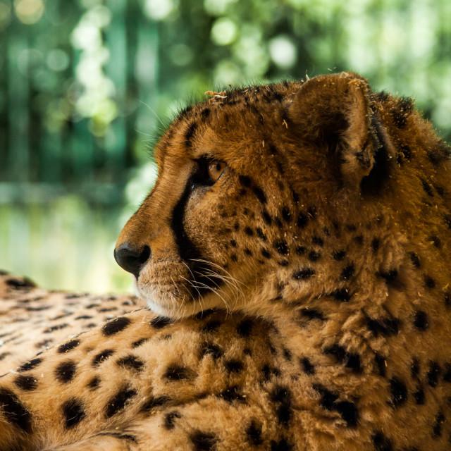 """Cheetah encounters 2"" stock image"