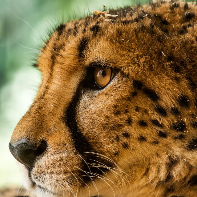 """Cheetah encounters 3"" stock image"