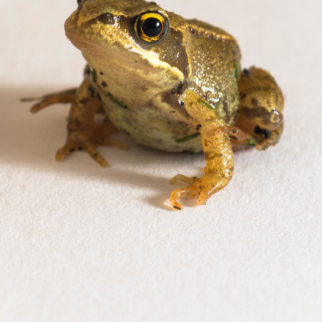 """A frog"" stock image"