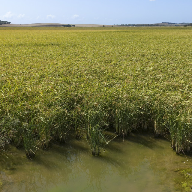 """Rice field, Old lagoon of La Janda, Cadiz-province, Region of Andalusia, Spain, Europe"" stock image"