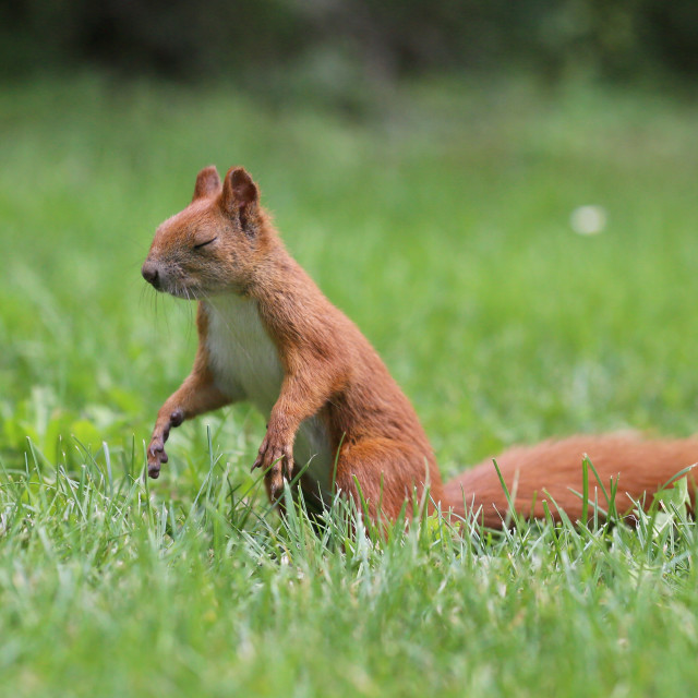 """Squirrel who can meditate"" stock image"