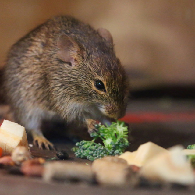 """""""Dining Mouse"""" stock image"""