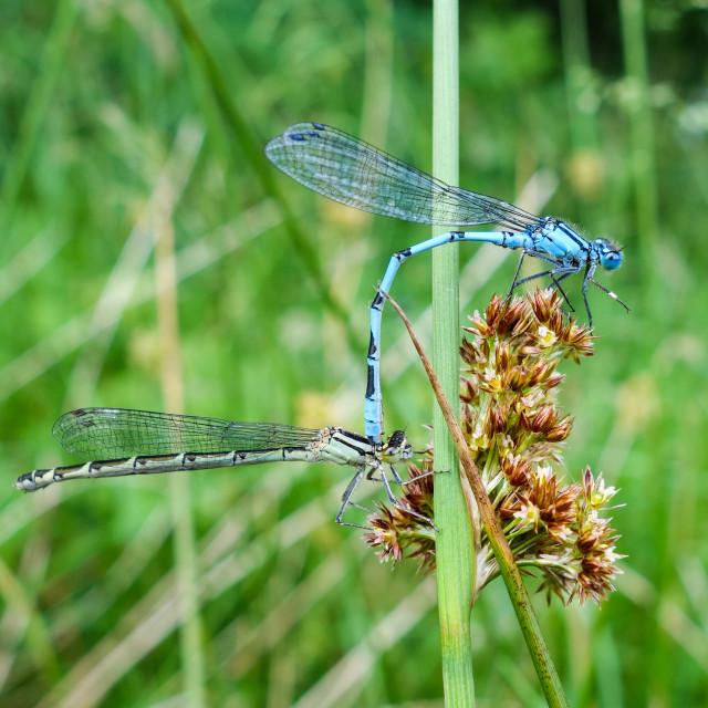 """Two Common blue damselflies (Enallagma cyathigerum) mating"" stock image"