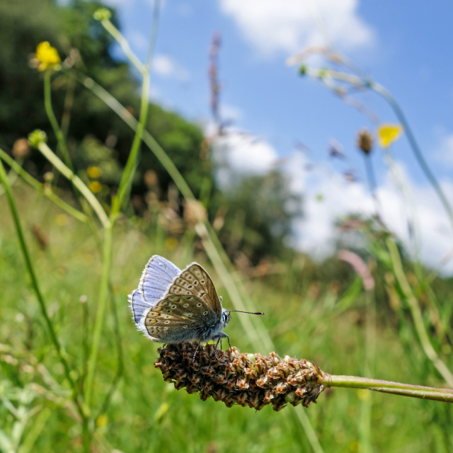 """A male Common Blue (Polyommatus icarus) butterfly"" stock image"