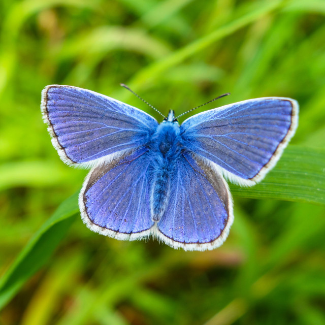 """A male Common Blue (Polyommatus icarus) butterfly England UK"" stock image"