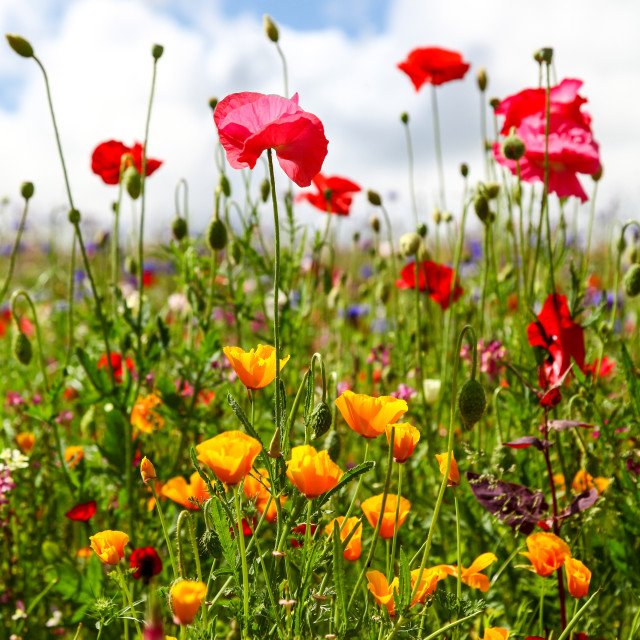 """Wildflowers in a meadow on a sunny summers day"" stock image"