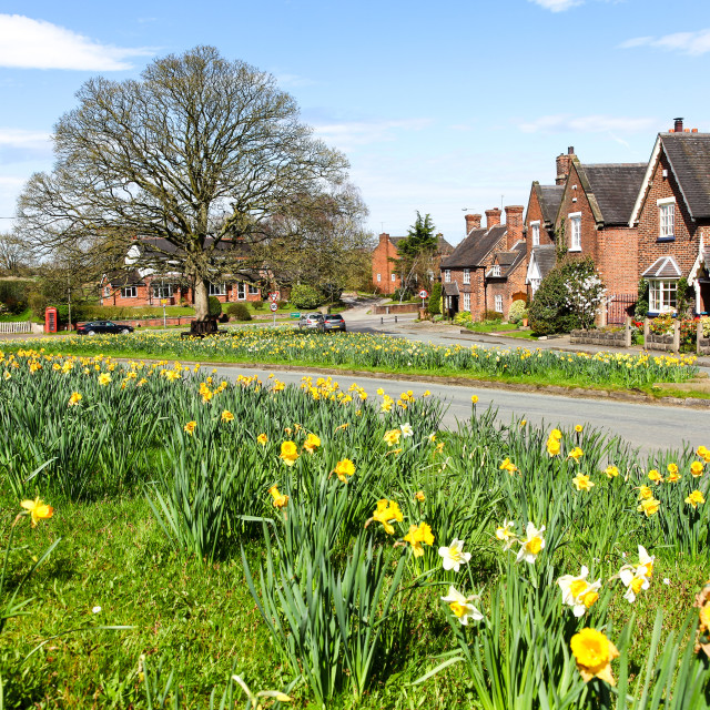 """Daffodils on the village green at Astbury Cheshire England UK"" stock image"
