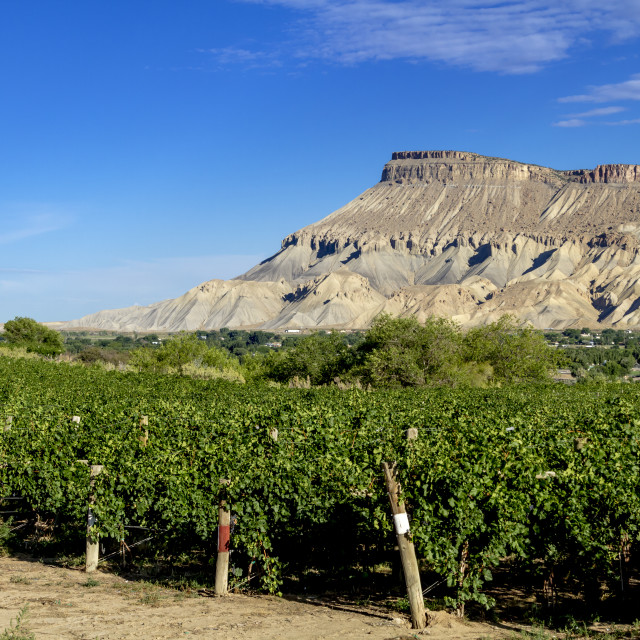 """Wine Vineyards in Colorado River Valley"" stock image"