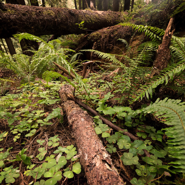 """""""Redwood Forest in Northern California"""" stock image"""