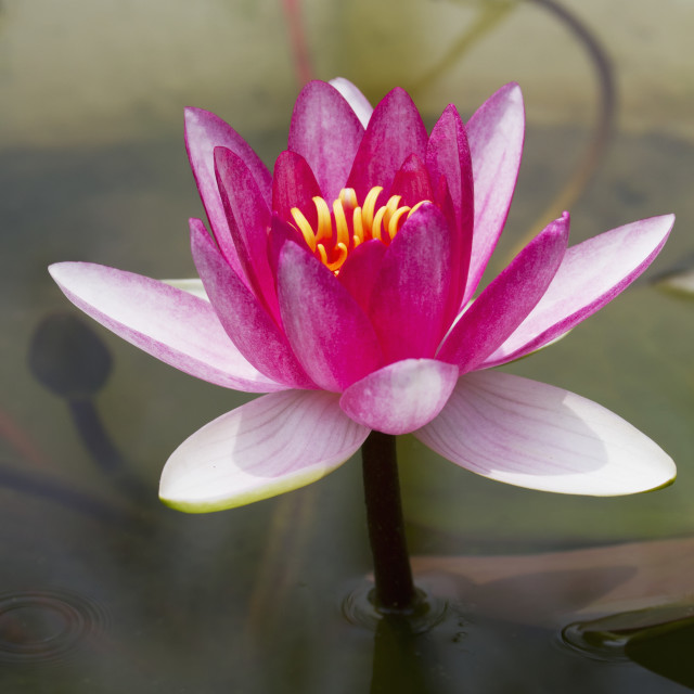 """Water Lily In The Humble Administrator's Garden, Suzhou, Jiangsu, China"" stock image"