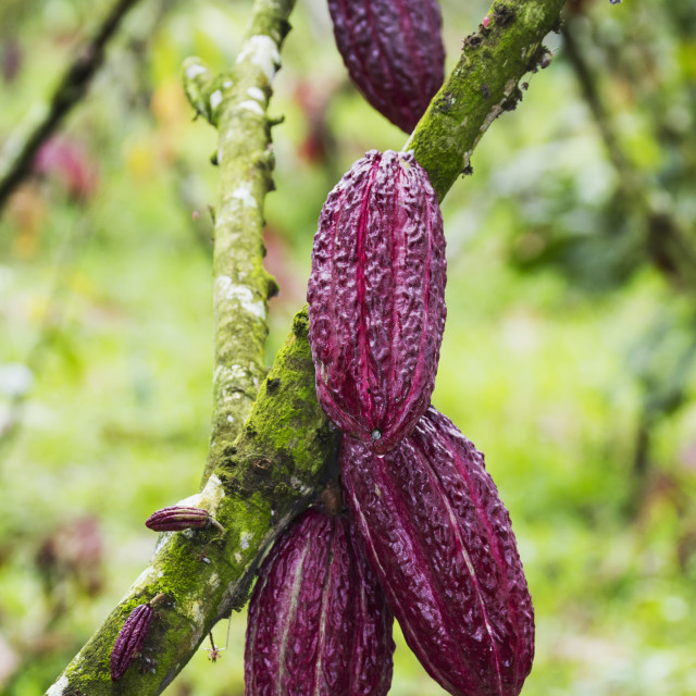 """Cocoa Pods On Trees (Theobroma Cacao) Growing In The Cocoa Plantation Of..."" stock image"