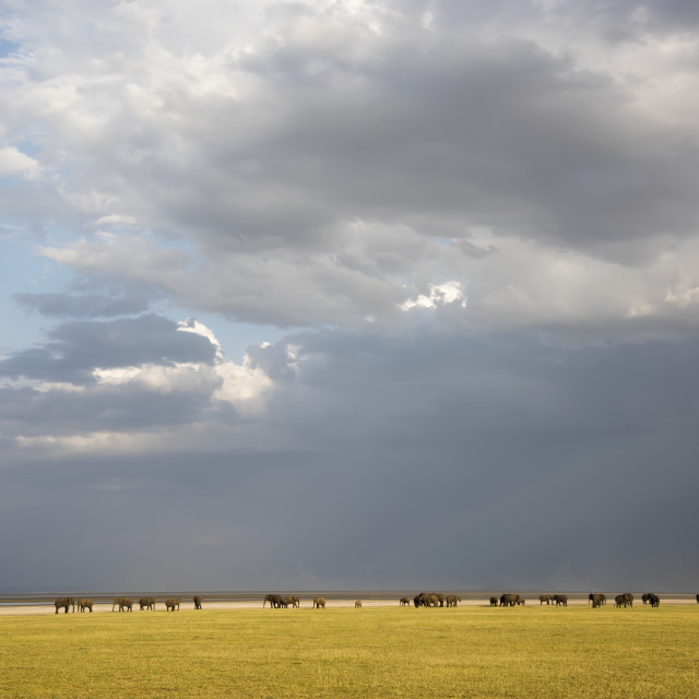 """""""Herd Of Elephants With Dramatic Clouds In Lake Manyara National Park; Tanzania"""" stock image"""