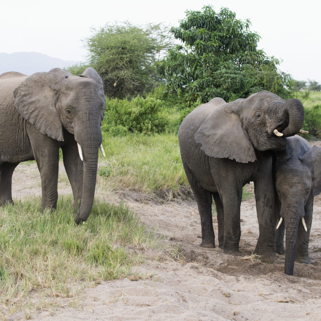 """""""Elephants Getting Water From Hole They Dug In Sand In Lake Manyara National..."""" stock image"""