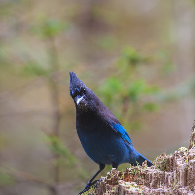 """""""A Steller's Jay Perched On A Tree Stump, Thumb Cove State Marine Park,..."""" stock image"""