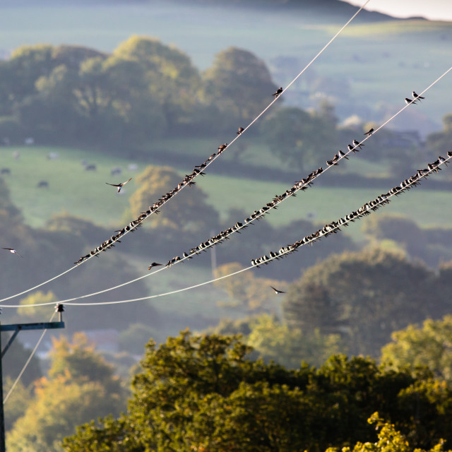 """House Martins on power lines"" stock image"