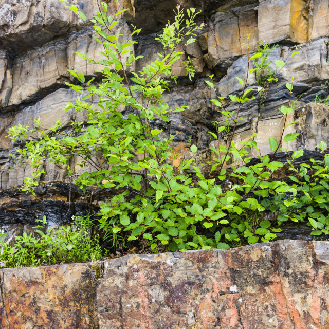 """Plants Grow Out Of Rocks Atop Whirlpool Canyon, On The Liard River, Alongside..."" stock image"