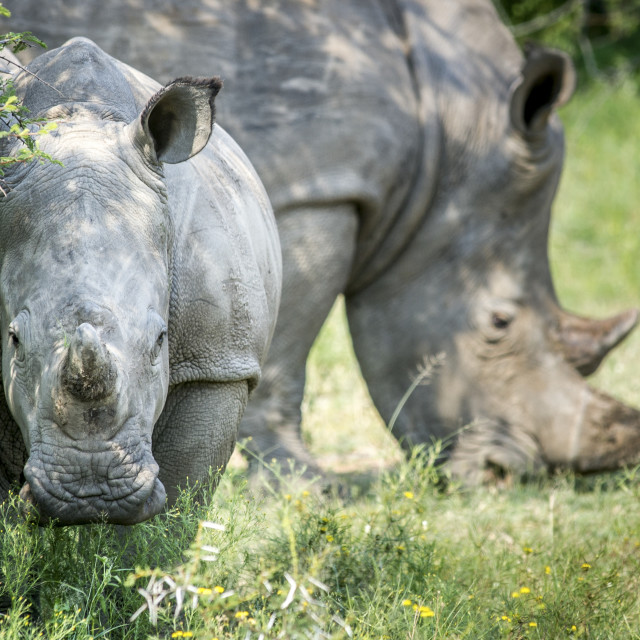 """A Pair Of Rhinoceros (Rhinocerotidae) On The Dinokeng Game Reserve; South Africa"" stock image"