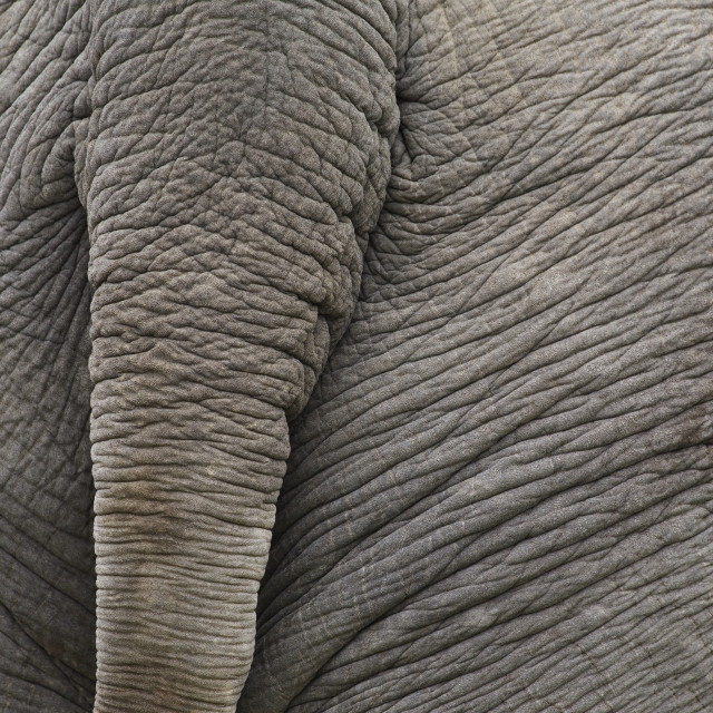 """Close-Up Of The Rear Of An Elephant; Calgary, Alberta, Canada"" stock image"
