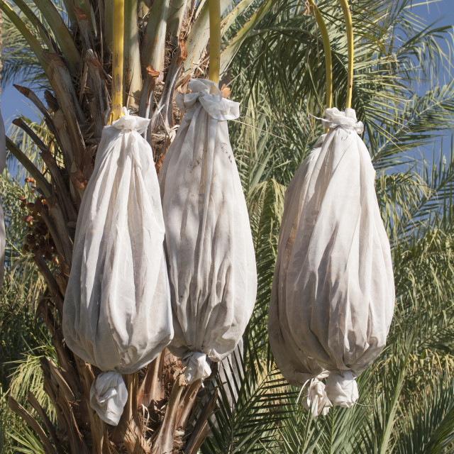 """""""Close Up Of A Date Tree With Covered Sacks On Date Clusters; Palm Springs,..."""" stock image"""