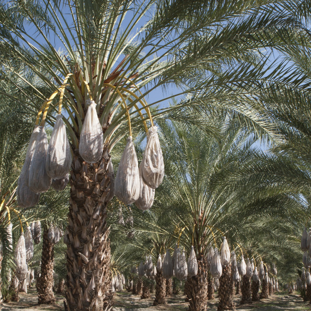 """""""Rows Of Date Trees With Covered Sacks On Date Clusters; Palm Springs,..."""" stock image"""