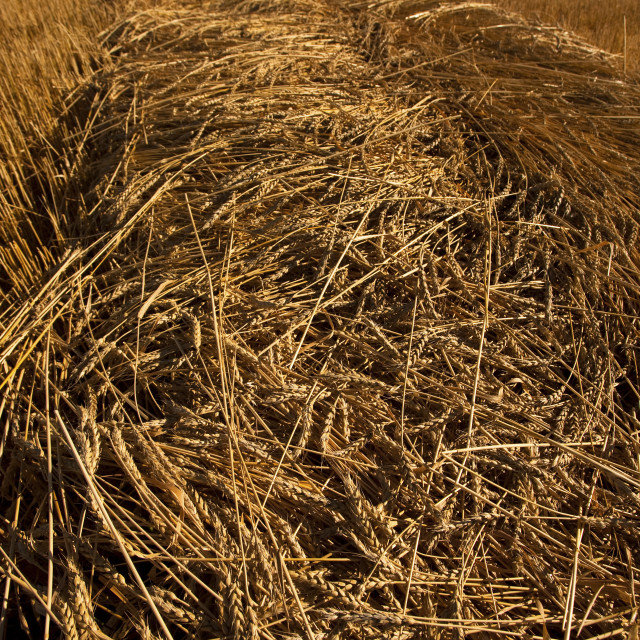 """""""Low Angle Of Swath As Combine Approaches In Distance, Redvers, Saskatchewan,..."""" stock image"""