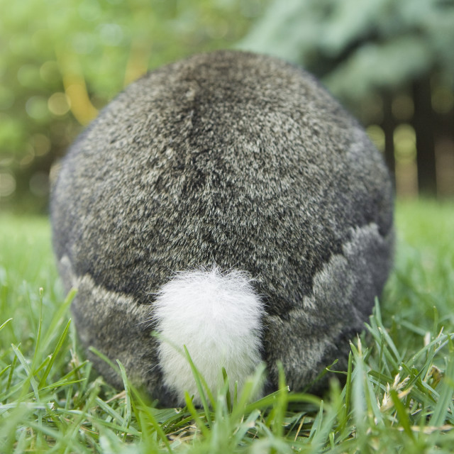 """Domestic Rabbit, Rear End"" stock image"