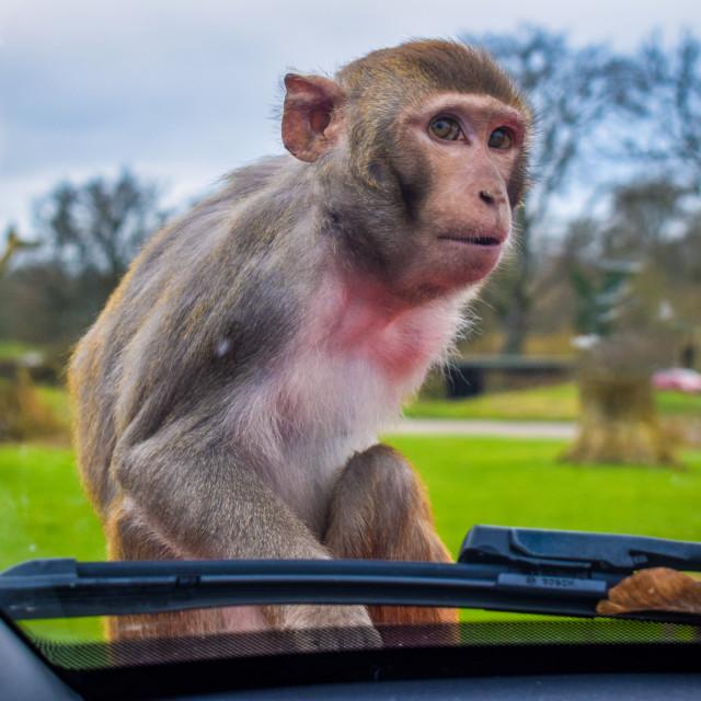 """""""Longleat Monkey"""" stock image"""