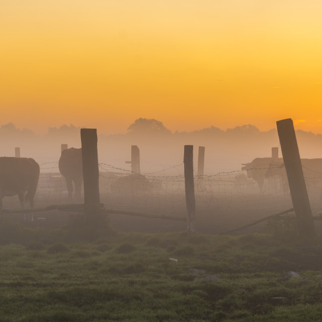 """""""cows on a meadow on a foggy summer morning"""" stock image"""