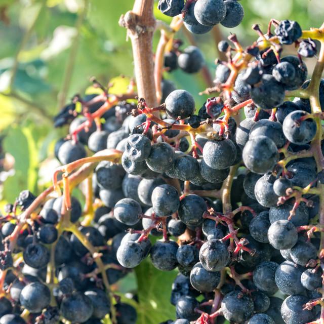 """Dark grapes ripen on the perennial"" stock image"