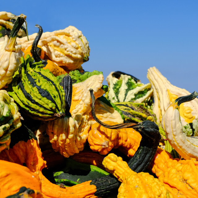 """Pumpkins with Warts"" stock image"