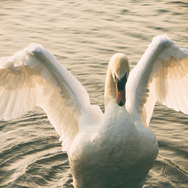 """""""Swan On a Summer Evening"""" stock image"""