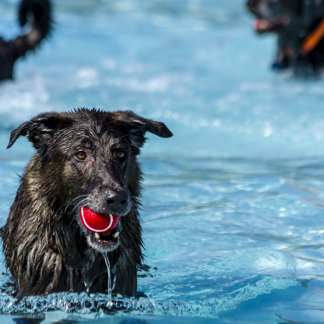 """Dogs playing in swimming pool"" stock image"