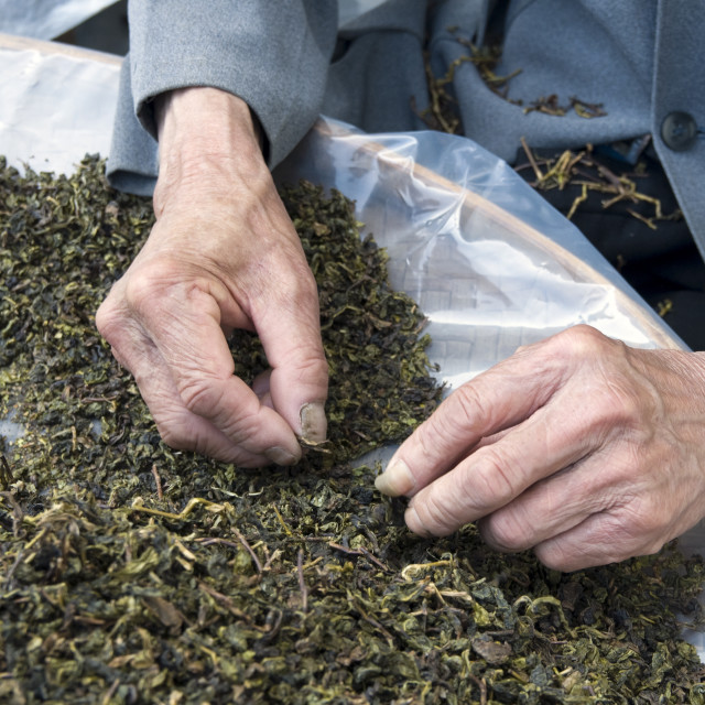 """CHINA Sorting tea leaves and preparing them for packing after harvest in..."" stock image"