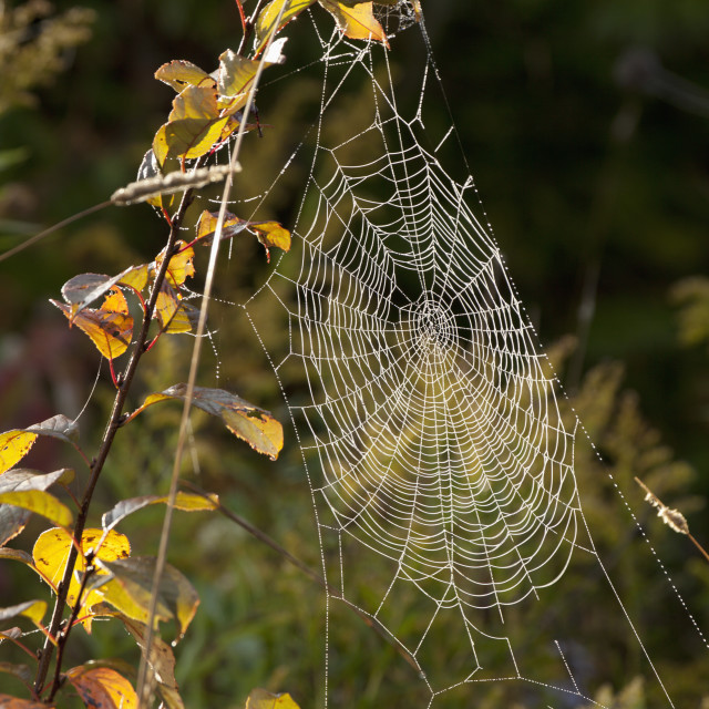 """Spider Web On A Plant Covered In Dew; Sault St. Marie, Ontario, Canada"" stock image"