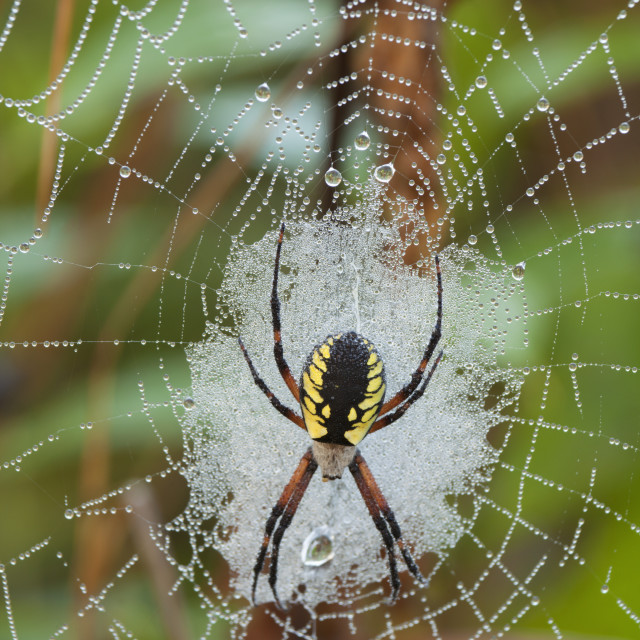 """Writing Spider (Argiope) On A Web Covered In Dew; Sault St. Marie, Ontario,..."" stock image"