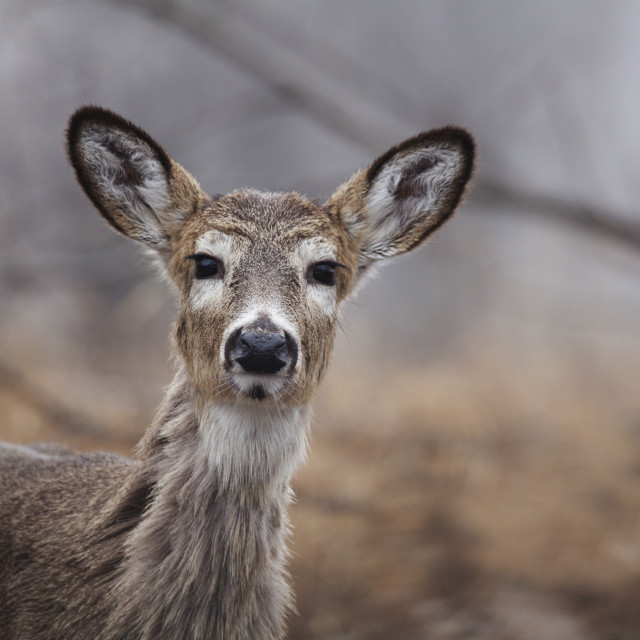 """Deer In The Brush; Thunder Bay, Ontario, Canada"" stock image"