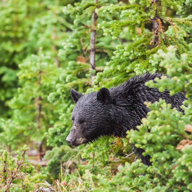 """""""A wild black bear forages in the forest on a rainy day;Whistler british..."""" stock image"""