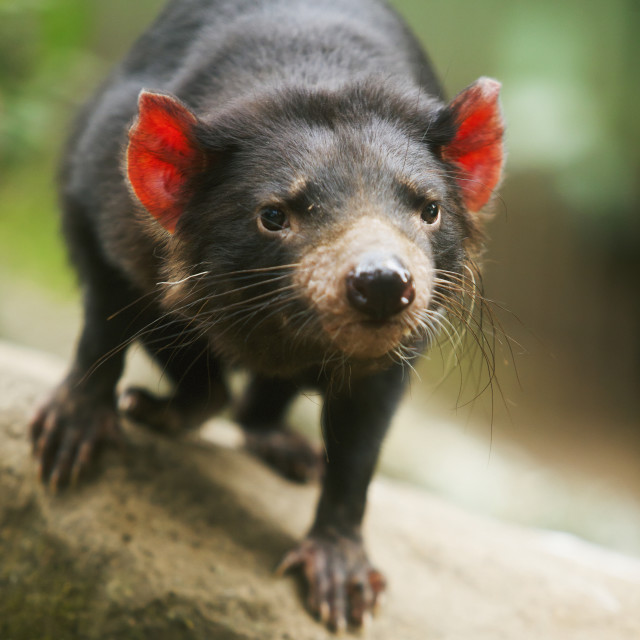 """Tasmanian devil (sarcophilus harrisii);Gold coast queensland australia"" stock image"