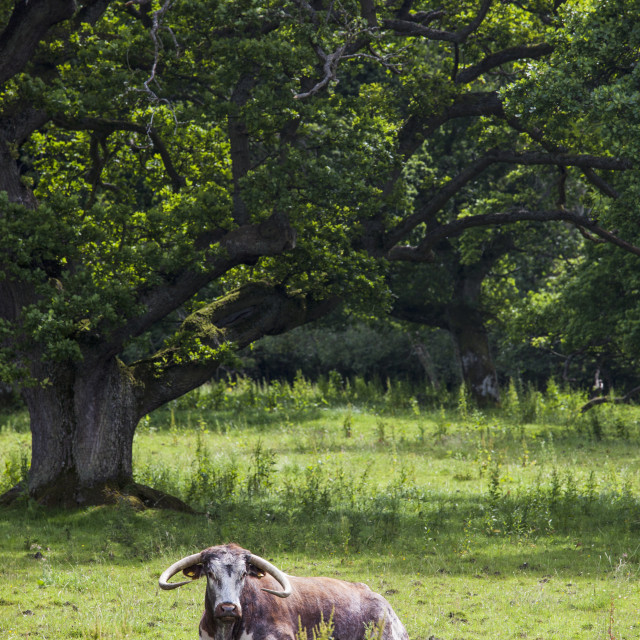 """A bovine animal laying on the grass;Northumberland england"" stock image"