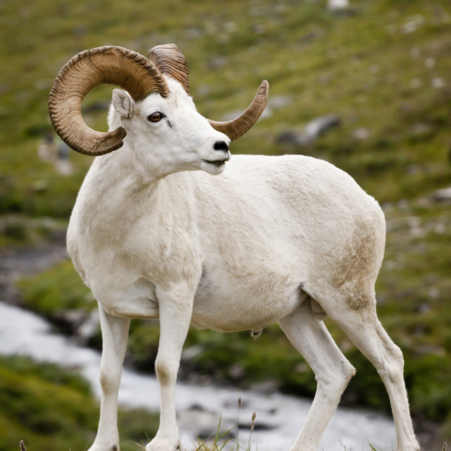 """""""A Mature Dall Ram Walks Along The Hiking Trail Of The Savage River In Denali..."""" stock image"""
