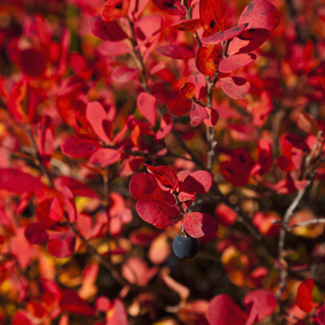"""""""Close Up Of Autumn Colored Blueberry Bushes Along The Denali Highway,..."""" stock image"""