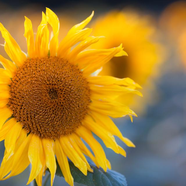 """Vivid Sunflowers"" stock image"