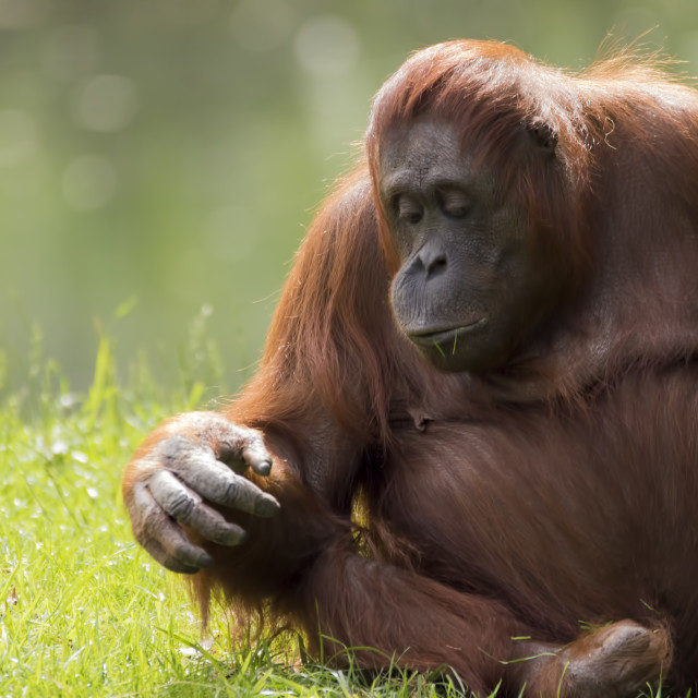 """Female orangutan"" stock image"