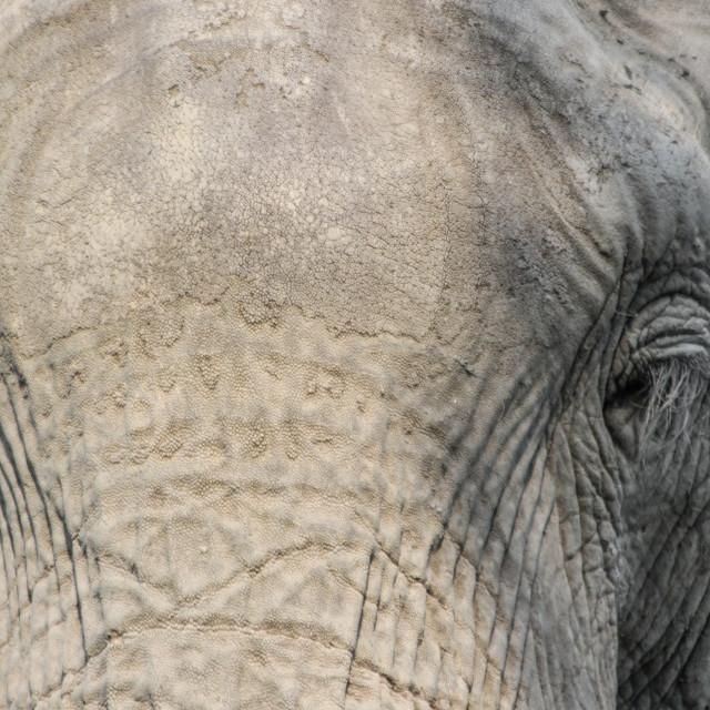 """Elephant's Stare"" stock image"