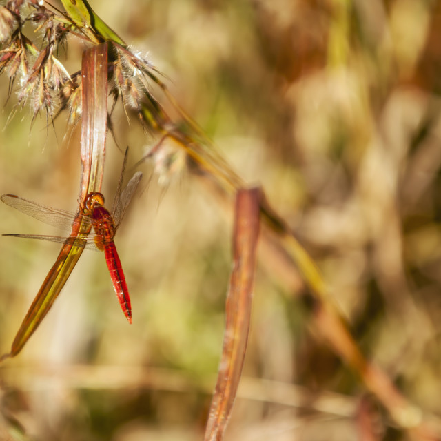 """""""Red dragonfly in a forest just outside madikeri;Kodagu state karnataka india"""" stock image"""