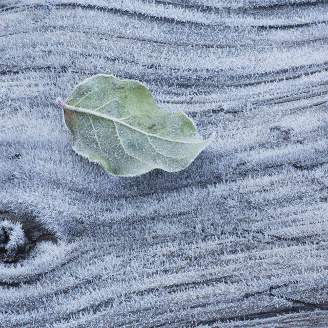 """Frost covered log and leaf along mackenzie beach at sunrise;Tofino, british..."" stock image"